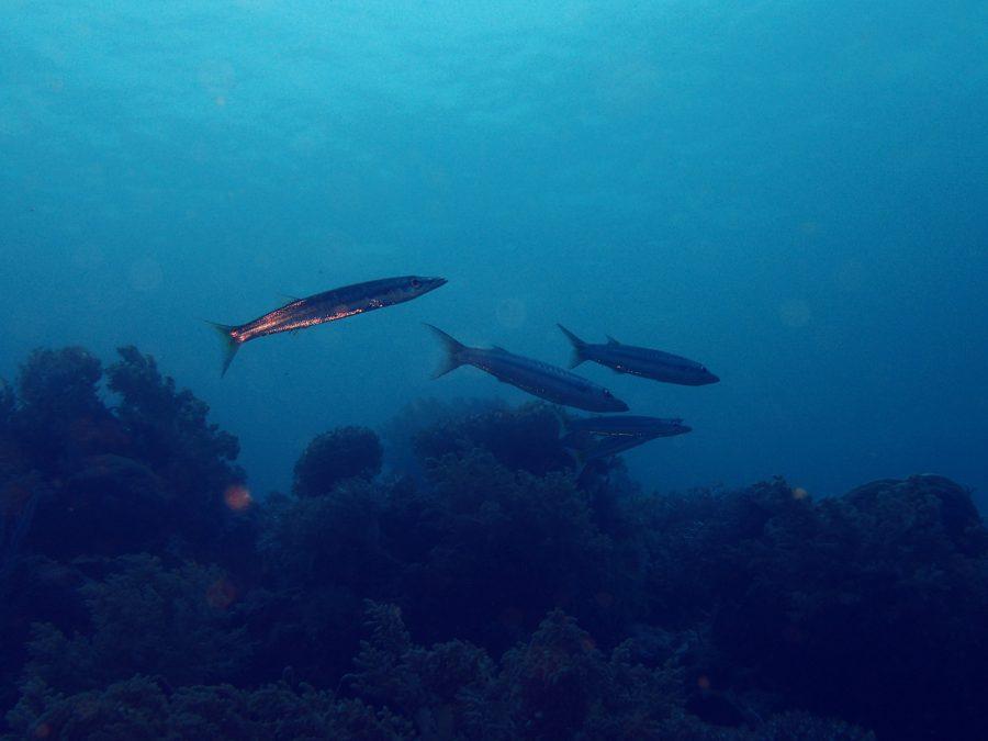 オランゴ島ダイビング_15
