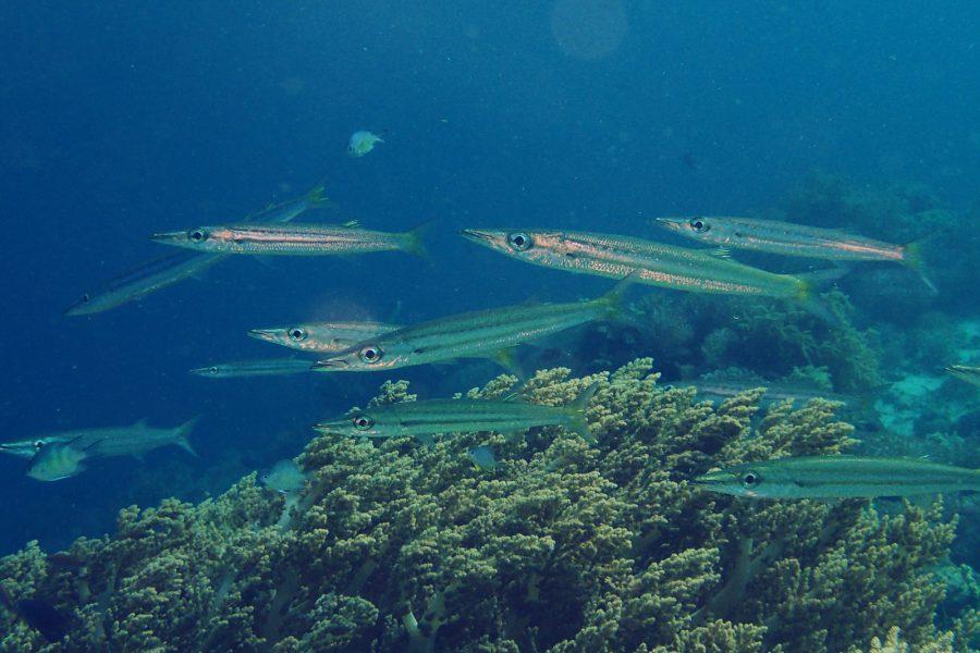 オランゴ島ダイビング_07