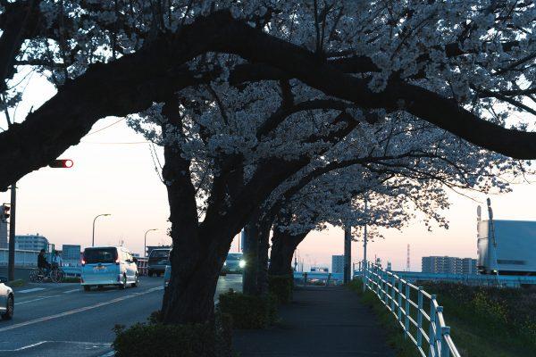 桜と夕日と渋滞とZEISS_16