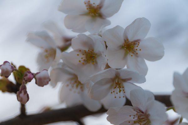 桜と夕日と渋滞とZEISS_05