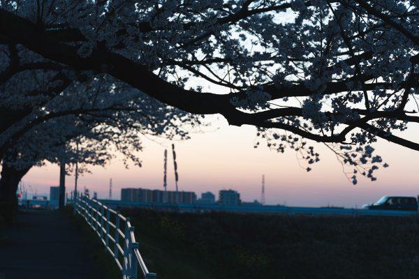 桜と夕日と渋滞とZEISS_19