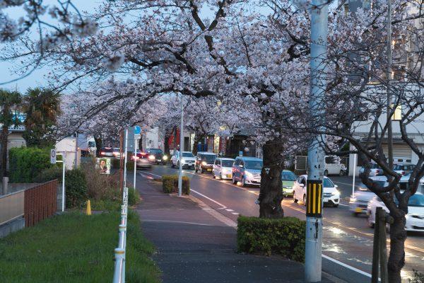 桜と夕日と渋滞とZEISS_22