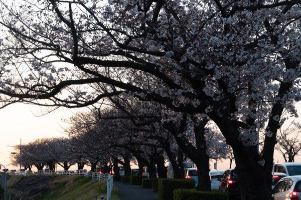 桜と夕日と渋滞とZEISS_10