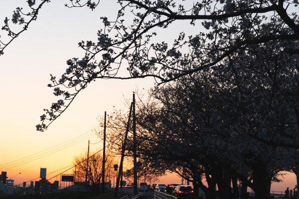 桜と夕日と渋滞とZEISS_12
