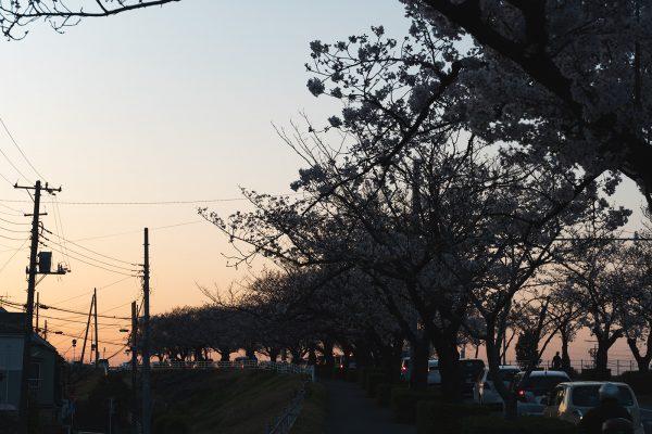 桜と夕日と渋滞とZEISS_09