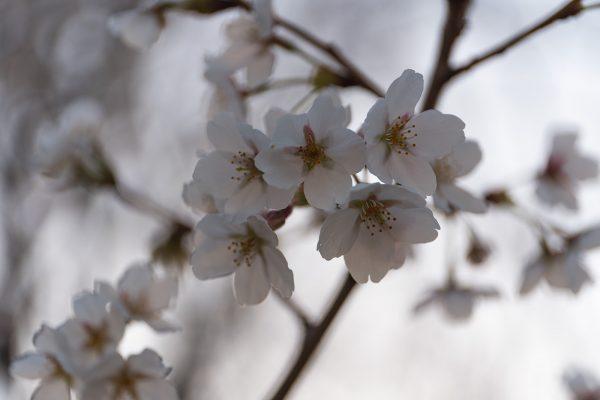 桜と夕日と渋滞とZEISS_04