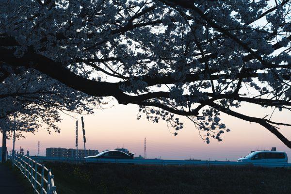 桜と夕日と渋滞とZEISS_17