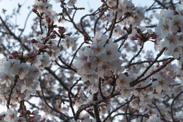 桜と夕日と渋滞とZEISS_11