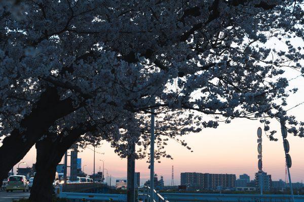 桜と夕日と渋滞とZEISS_14